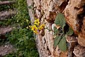 Mullein (Verbascum arcturus)