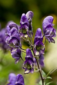 Common Monkshood (Aconitum napellus)