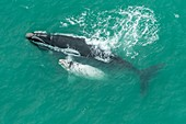 Southern right whale and albino calf