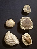 Bivalve fossils