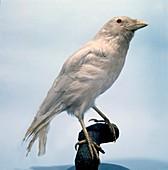 Carrion crow,mounted albino specimen