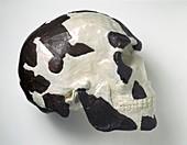 Homo sapiens cranium (Omo 1)