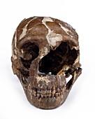Homo neanderthalensis cranium (Tabun 1)