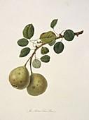 Aston Town Pear (1818)