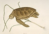 Green sea turtle,18th century