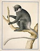 Purple-faced leaf monkey,artwork