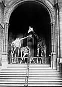 Giraffes,Natural History Museum,London