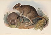 Brush-tailed bettongs,artwork