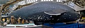 Blue whale model