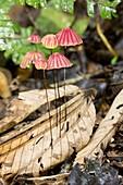 Tropical mushrooms (Marasmius sp.)