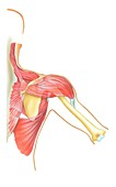 Shoulder joint movement,artwork