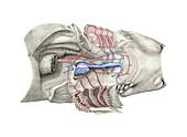 Shark heart-gill anatomy,artwork