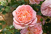 Rose (Rosa 'Abraham Darby')