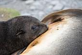 Fur seal pup suckling