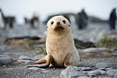 Leucistic fur seal pup