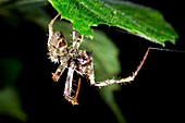 Tropical spider detecting prey