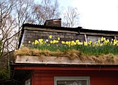 Daffodils flowering on a turf roof