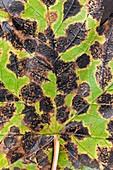 Tar spot on Acer pseudoplatanus leaf