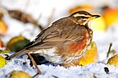 Redwing in snow