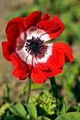 Anemone sp
