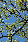 Variegated Dogwood (Cornus sp.)