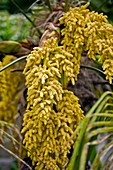 Male flowers on Palm tree
