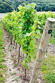 Vineyard,UK