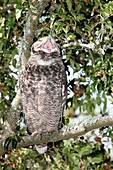 Spotted eagle owl in a tree