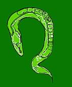 C. elegans worm,illustration