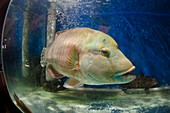 Endangered Humphead wrasse for sale