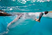 Whale shark resting on fishermans foot