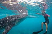 Snorkeler with a whale shark at surface
