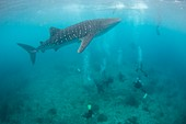 Divers and snorklers with a whale shark