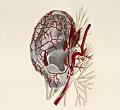 Circulatory system of the ear,artwork