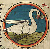 Swan with a fish in its beak