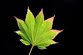 Japanese maple (Acer japonicum) leaf