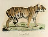 A female royal tiger