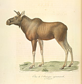 A north American Moose