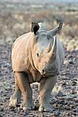 Sothern White Rhinoceros