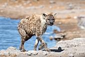 Spotted Hyena at a waterhole