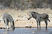 Burchell's and Hartmann's Zebras drinking