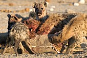 Spotted Hyenas feeding on a Kudu