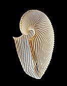 Argonaut octopus eggcase shell