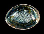 Green abalone sea snail shell