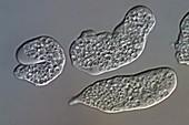 Entamoeba histolytica protozoa