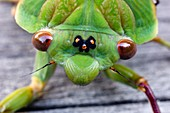 Head of a green grocer cicada