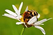 Bee beetle on a flower