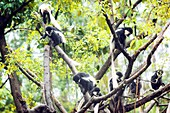 Mantled guereza monkeys