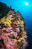 Multi coloured soft coral on reef