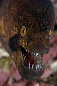 A moray eel in the Maldives
